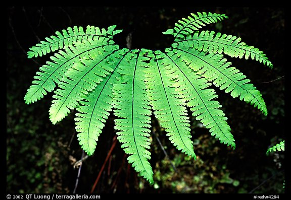 Single fern, Fern Canyon, Prairie Creek Redwoods State Park. Redwood National Park (color)