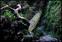 Fallen tree across Fern Canyon, Prairie Creek Redwoods State Park. Redwood National Park, California, USA.