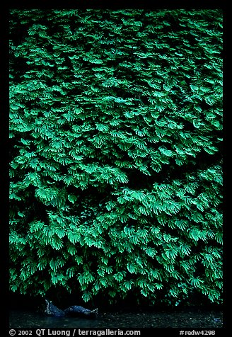 Ferns covering steep wall, Fern Canyon, Prairie Creek Redwoods State Park. Redwood National Park (color)