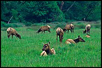 Herd of Roosevelt Elk in meadow, Prairie Creek. Redwood National Park, California, USA. (color)