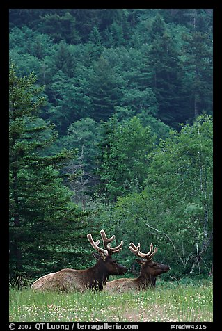 Bull Roosevelt Elks in meadow, Prairie Creek Redwoods State Park. Redwood National Park (color)