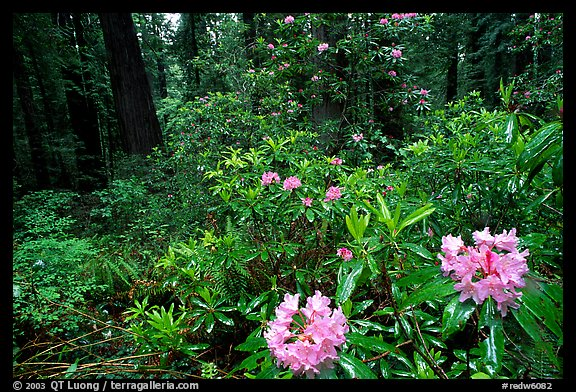 Rododendrons in bloom in a redwood grove, Del Norte Redwoods State Park. Redwood National Park (color)