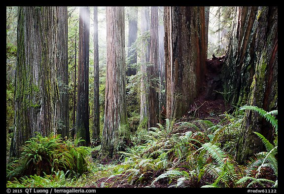 Sunlight in lowland redwood forest, Jedediah Smith Redwoods State Park. Redwood National Park (color)