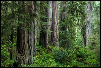 Lush lowland redwood forest, Jedediah Smith Redwoods State Park. Redwood National Park ( color)