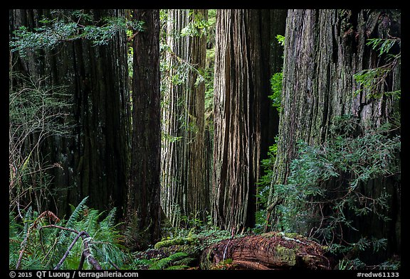 Light on trunks of giant redwood trees, Jedediah Smith Redwoods State Park. Redwood National Park (color)