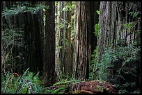 Light on trunks of giant redwood trees, Jedediah Smith Redwoods State Park. Redwood National Park ( color)