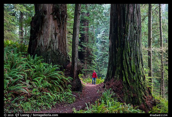Hiker between giant redwoods, Boy Scout Tree trail, Jedediah Smith Redwoods State Park. Redwood National Park (color)