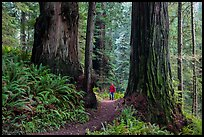 Hiker between giant redwoods, Boy Scout Tree trail, Jedediah Smith Redwoods State Park. Redwood National Park ( color)