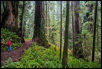 Visitor looking, Boy Scout Tree trail, Jedediah Smith Redwoods State Park. Redwood National Park ( color)