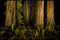Ancient redwoods lighted at night, Jedediah Smith Redwoods State Park. Redwood National Park, California, USA.