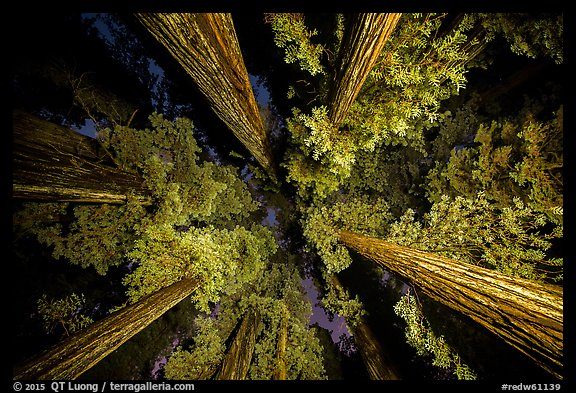 Looking up redwoods lighted at night, Jedediah Smith Redwoods State Park. Redwood National Park (color)