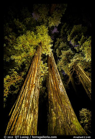 Tall redwoods lighted at night, Jedediah Smith Redwoods State Park. Redwood National Park (color)