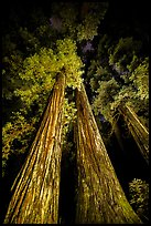 Tall redwoods lighted at night, Jedediah Smith Redwoods State Park. Redwood National Park, California, USA.