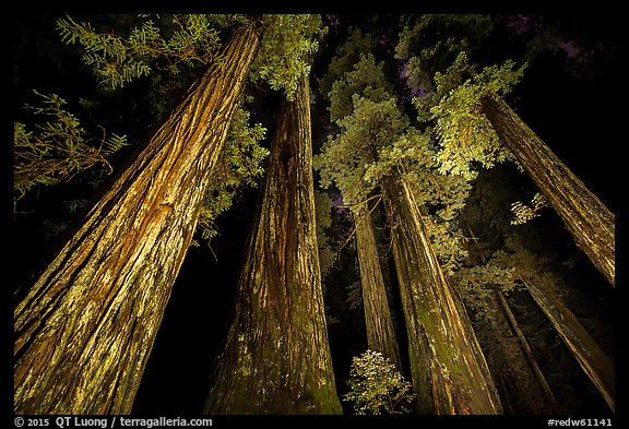 Towering redwoods at night, Jedediah Smith Redwoods State Park. Redwood National Park (color)