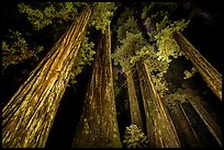 Towering redwoods at night, Jedediah Smith Redwoods State Park. Redwood National Park, California, USA.