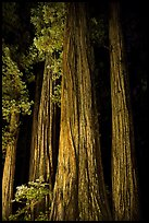 Redwood tree trunks lighted at night, Jedediah Smith Redwoods State Park. Redwood National Park, California, USA.