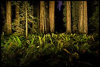 Ferns and redwoods at night, Jedediah Smith Redwoods State Park. Redwood National Park, California, USA.