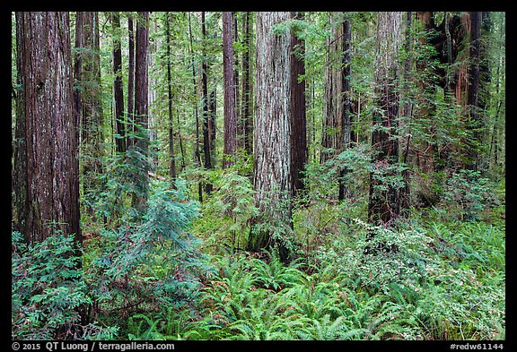 Stout Grove, Jedediah Smith Redwoods State Park. Redwood National Park (color)