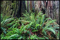 Ferns and textured trunks of giant redwoods, Stout Grove, Jedediah Smith Redwoods State Park. Redwood National Park ( color)