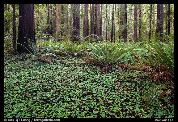 Clovers, ferns, and redwoods, Stout Grove, Jedediah Smith Redwoods State Park. Redwood National Park (color)