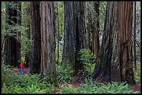 Visitor looking, Stout Grove, Jedediah Smith Redwoods State Park. Redwood National Park ( color)