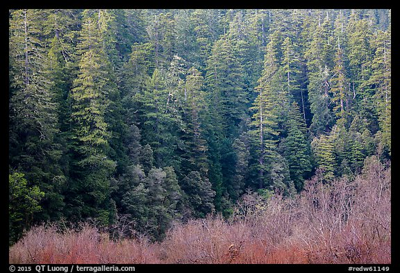 Bare branches and redwood trees, Jedediah Smith Redwoods State Park. Redwood National Park (color)