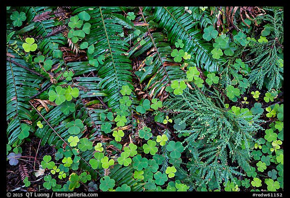 Ground close-up of clovers, shamrocks, ferns, and redwood needles, Stout Grove, Jedediah Smith Redwoods State Park. Redwood National Park (color)