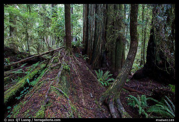 Fallen redwood as nurse log, Simpson-Reed Grove, Jedediah Smith Redwoods State Park. Redwood National Park (color)