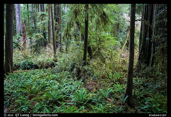 Luxuriant forest, Simpson-Reed Grove, Jedediah Smith Redwoods State Park. Redwood National Park (color)
