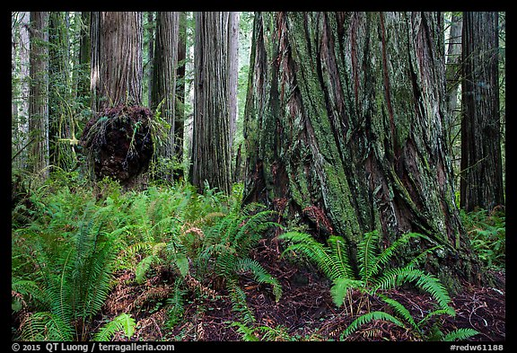 Ferns and giant redwoods, Simpson-Reed Grove, Jedediah Smith Redwoods State Park. Redwood National Park (color)