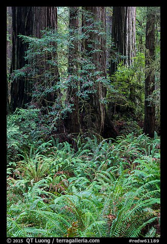 Luxuriant ferns and redwoods, Simpson-Reed Grove, Jedediah Smith Redwoods State Park. Redwood National Park (color)