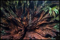 Roots of fallen redwood tree and fern, Simpson-Reed Grove, Jedediah Smith Redwoods State Park. Redwood National Park ( color)