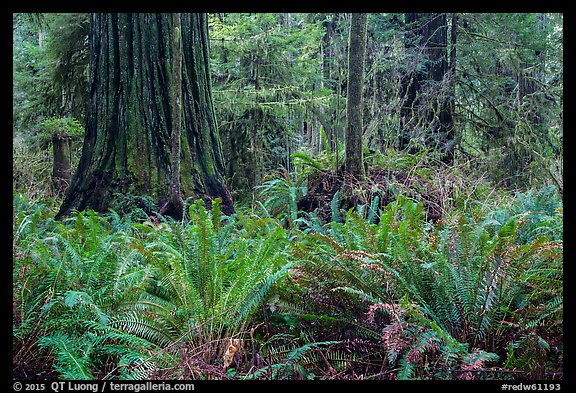 Jungle-like redwood forest, Simpson-Reed Grove, Jedediah Smith Redwoods State Park. Redwood National Park (color)