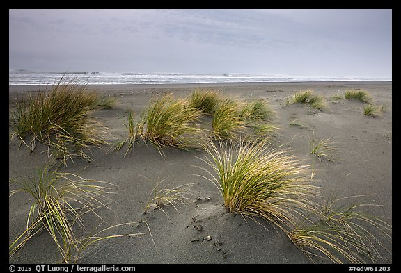 Dune grass, Gold Bluffs Beach, Prairie Creek Redwoods State Park. Redwood National Park (color)