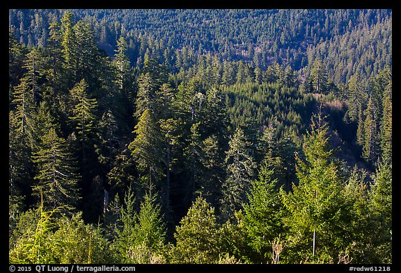 Forest on hillside from Redwood Creek Overlook. Redwood National Park (color)