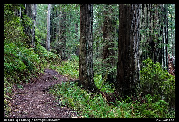 James Irwing Trail, Prairie Creek Redwoods State Park. Redwood National Park (color)