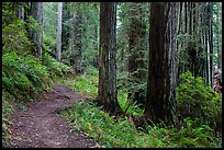 James Irwing Trail, Prairie Creek Redwoods State Park. Redwood National Park ( color)