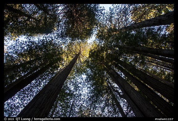 Looking up redwood trees with sunlight, Prairie Creek Redwoods State Park. Redwood National Park (color)