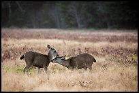 Two young elk interacting, Prairie Creek Redwoods State Park. Redwood National Park ( color)
