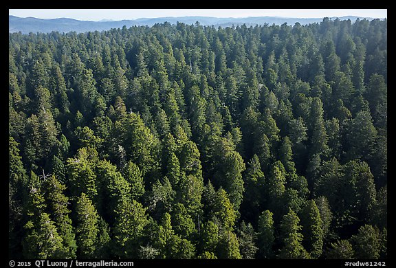 Aerial view of redwood forest. Redwood National Park (color)