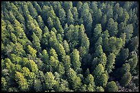Aerial view of redwood forest treetop. Redwood National Park ( color)