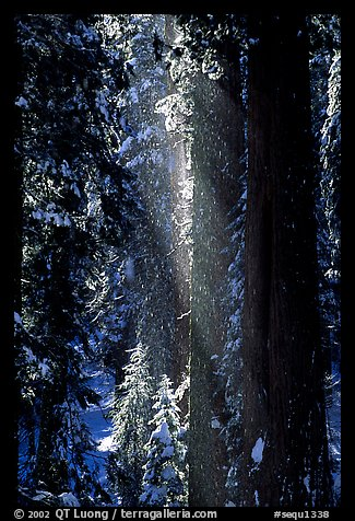 Snow falling from sequoias. Sequoia National Park (color)