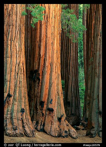 Sequoia (Sequoia giganteum) trunks. Sequoia National Park (color)