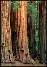 Sequoia (Sequoia giganteum) trunks. Sequoia National Park, California, USA. (color)