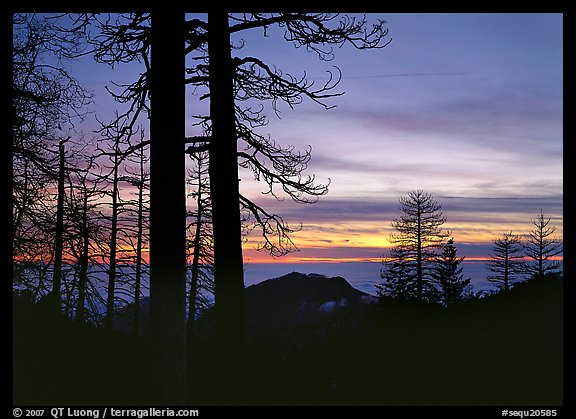 Bare trees in winter and sea of clouds at sunset. Sequoia National Park (color)