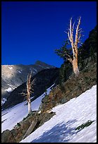 Bare trees above Mineral King, early summer. Sequoia National Park, California, USA. (color)