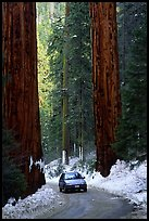 Road and Sequoias in winter. Sequoia National Park, California, USA. (color)