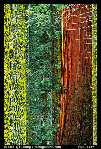 Mosaic of pines, sequoias, and mosses. Sequoia National Park (color)