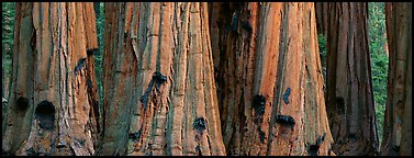 Giant sequoia trunks. Sequoia National Park (Panoramic color)