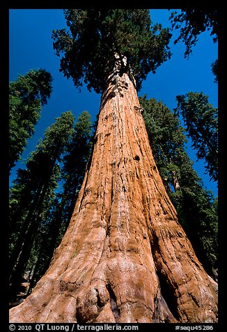 Sequoia named General Sherman, most massive living thing. Sequoia National Park (color)